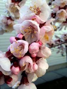 03 Apricot blossom