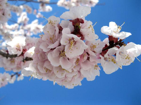 apricot-blossom-3